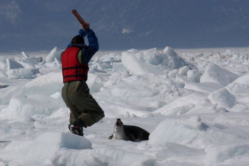 A baby seal's last few moments:April 3, 2009