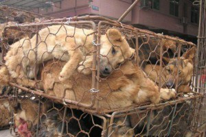 China Fur Trade (Dogs)