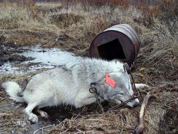 Coyote in conibear trap