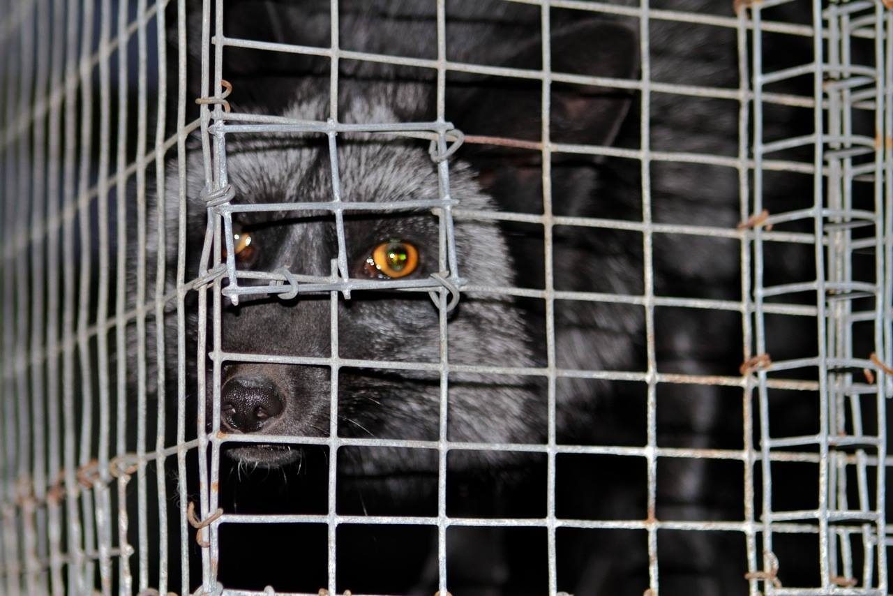 US Fur Farm caged animals