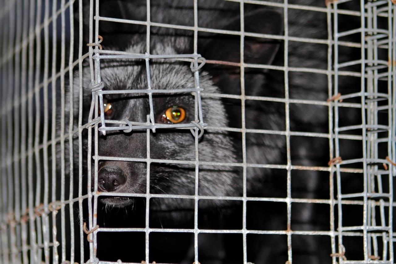 US Fur Farm caged animals
