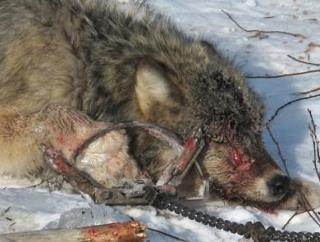 Federal Wildlife Killing Program