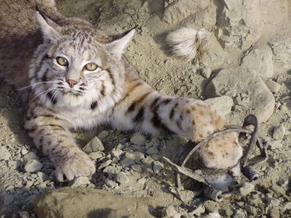 Trapped Lynx Cub