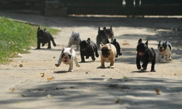 French Bulldog parade